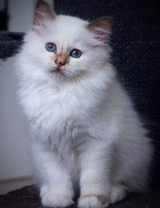 Bild på katt S*Storeklev's Leonore, SBI h