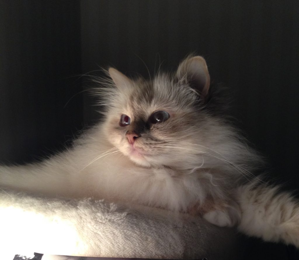 Bild på katt EC SP S*Provitas Sabina DSM DVM