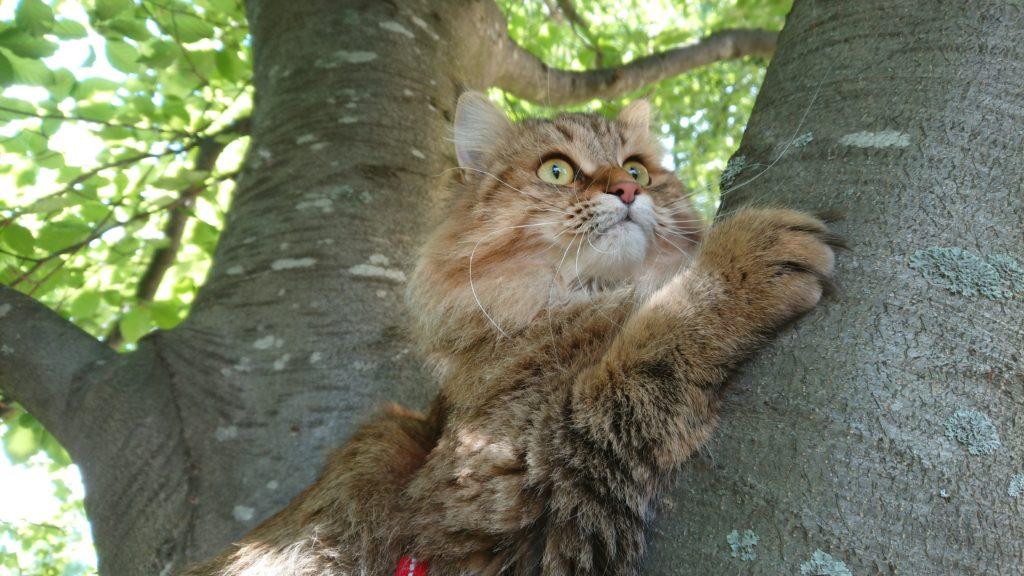 Persika, SE*Sibir Koshki Cara Mia af Gizmie, SIB n 09 24